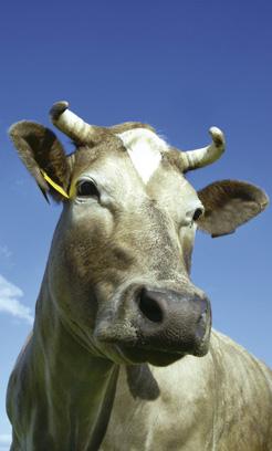Ko med horn